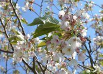 撮影日は桜の季節で、キレイに咲いていました。